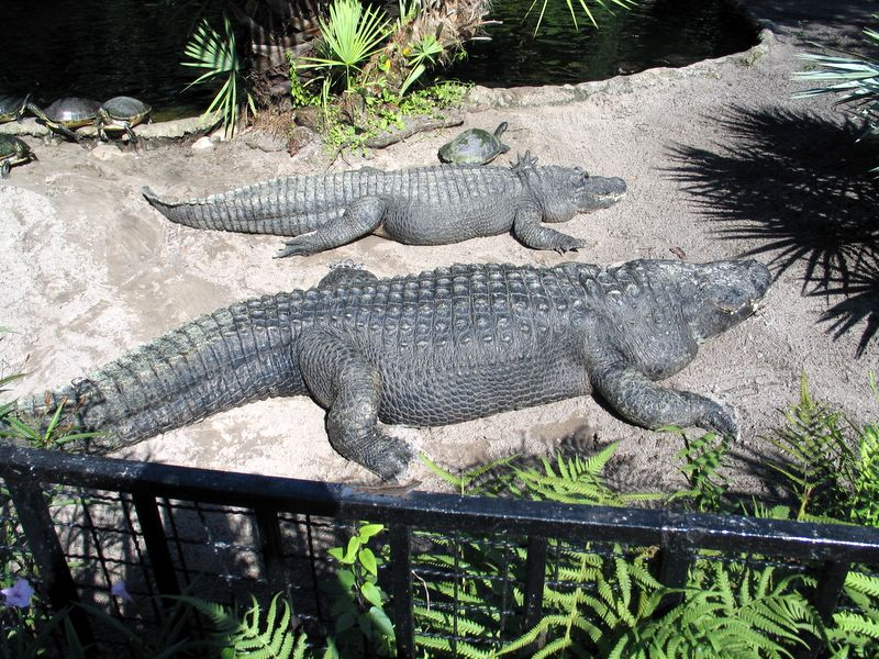 Aligators and turtles sleeping in the sun at Busch Gardens Africa in Tampa, Florida 2007