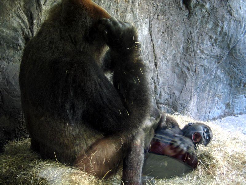 Baby gorilla born at Busch Gardens Africa in Tampa, Florida 2007