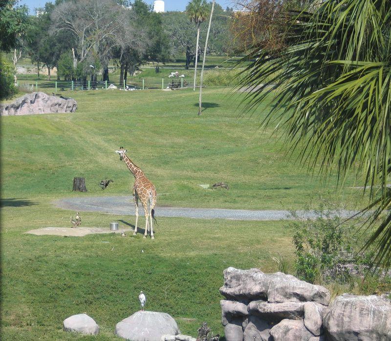 Giraffe at Busch Gardens Africa in Tampa, Florida 2007